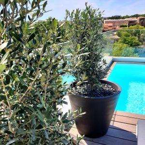 Vignette Olivier buisson pour une végétation résistante au soleil sur terrasse